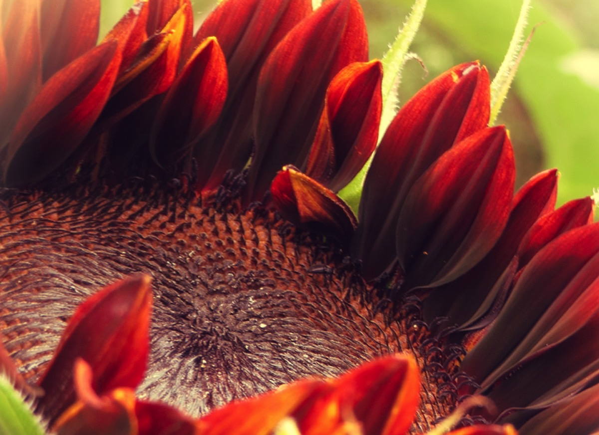 giant red sunflower