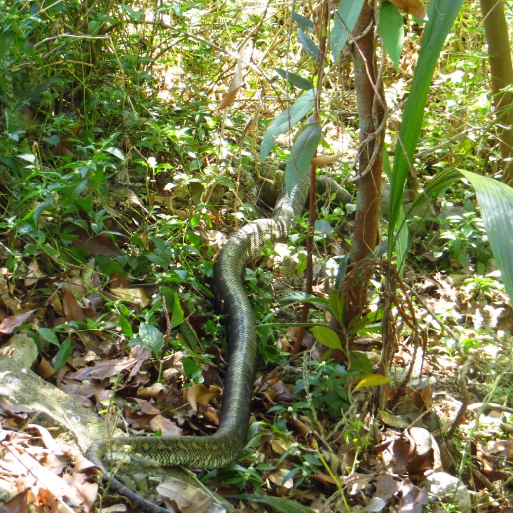 big snake 1
