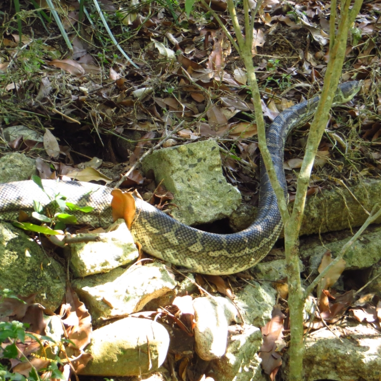 big snake 2