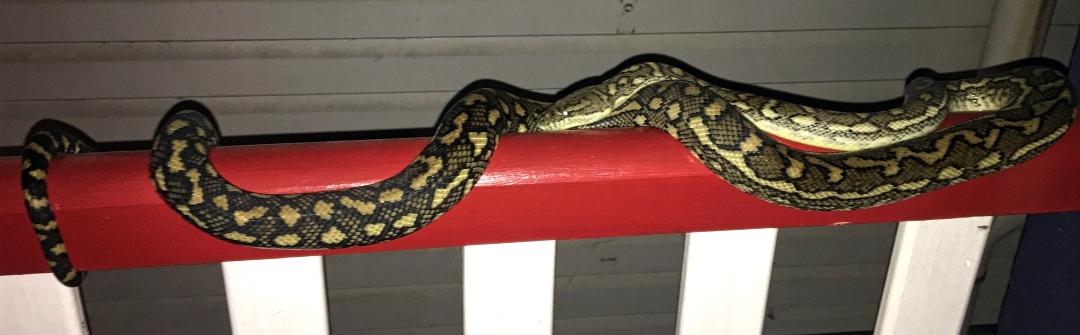snake bigly