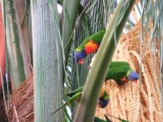rainbow lorrikeets 3