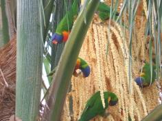rainbow lorrikeets